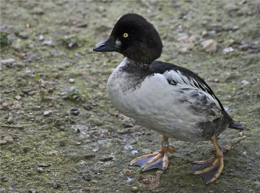 Duck_(7465070336) (1)