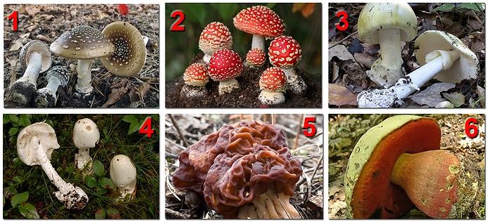 Ядовитые грибы: 1 – мухомор пантерный, 2 – мухомор красный, 3 – бледная поганка, 4 – мухомор вонючий, 5 - строчок, 6 – сатанинский гриб