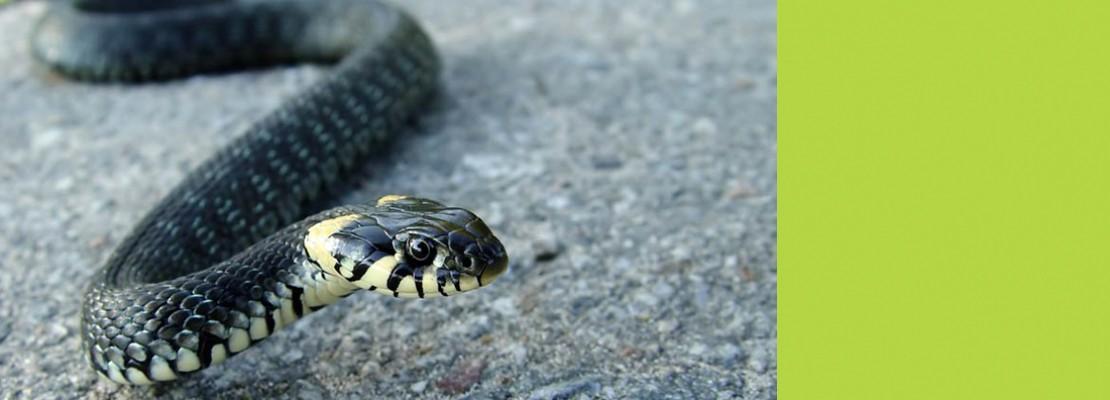 Змеи выползают к людям