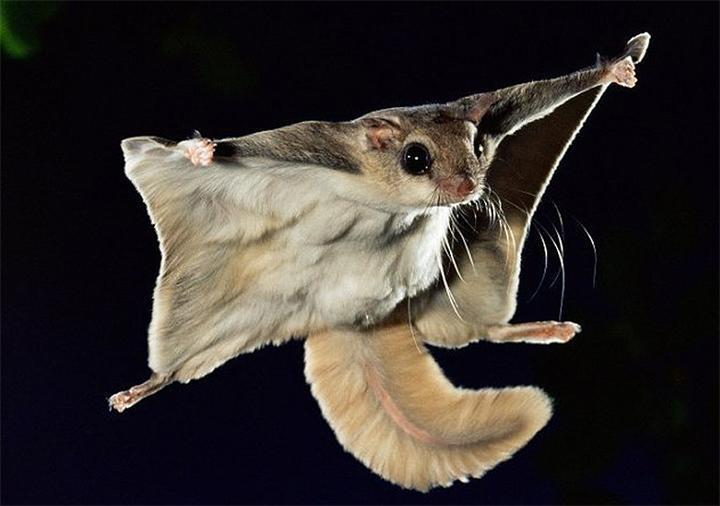 Белка-летяга в Висимском заповеднике