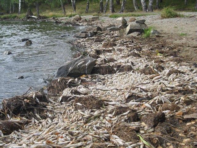 Берега Черноисточинского водоема усеяны горами мёртвой рыбы