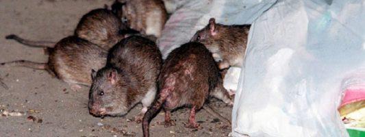 Задержки в вывозе мусора на Вагонке помешали борьбе с крысами