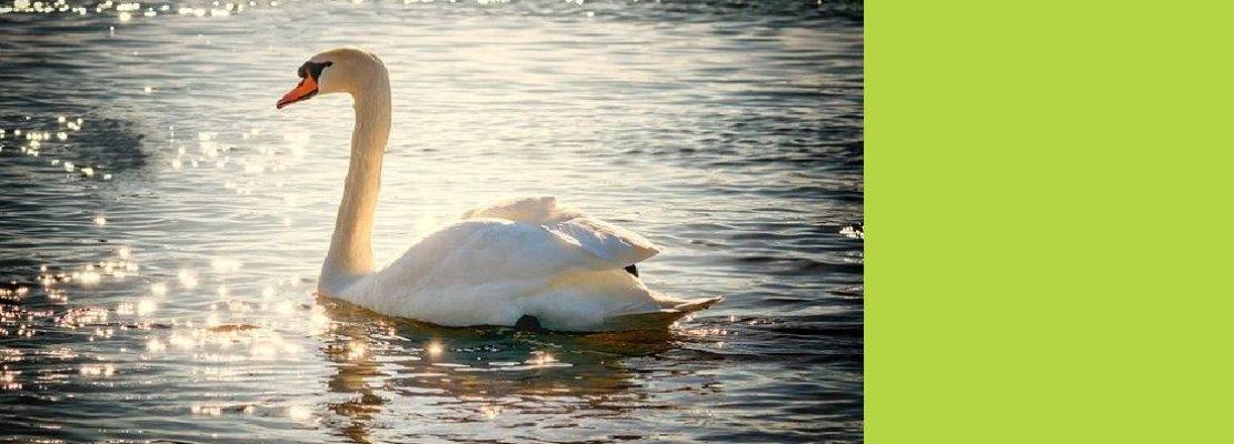 В Нижнем Тагиле заметили белых лебедей